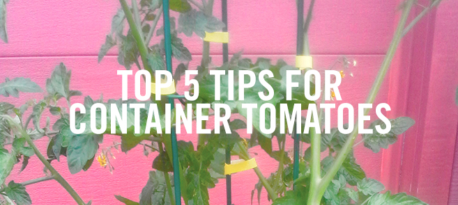 VELCRO Brand Plant Ties and Container Tomatoes Tips